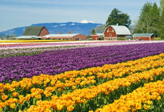 Skagit Day Trip, Tulip Fields Skagit Valley Washington