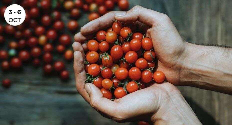 Tomatoes in hands, harvet, Windermere, Whidbey Island Langley